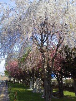 まださくら咲く季節